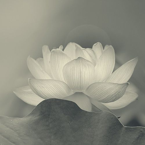 A White Lotus symbolizes Bodhi (Sanskrit for enlightenment). It symbolizes a pure body, mind and spirit, along with spiritual perfection and a pacification of one's nature. A lotus flower normally has eight petals, which corresponds to the Eightfold Path of Good Law.   www.ehow.com/...