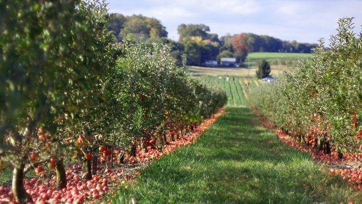 Lucrarile de taiere la pomi si arbusti fructifer sunt de 3 feluri: taieri de corectie, taieri de regenerare si taieri de rodire. Vezi cand si cum se executa corect