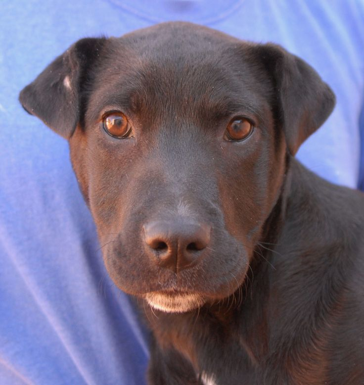 Mitch is a baby boy who loves bonding with people and giving puppy kisses. He is a Retriever & Shar Pei mix, expected to grow to medium or large size, now 4 months of age, neutered, and debuting for adoption today at Nevada SPCA (www.nevadaspca.org). Mitch is a playful puppy and enjoys interacting with other dogs. At the time of rescue he had been abandoned at a Vegas bus stop the day after Christmas when he was only weeks old.