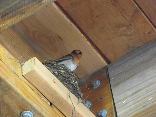 Welcome Swallow (August 2013) building her nest (in our house).