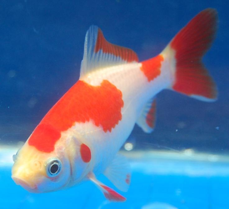 93 best images about goldfish koi on pinterest sashimi for Freshwater pond fish