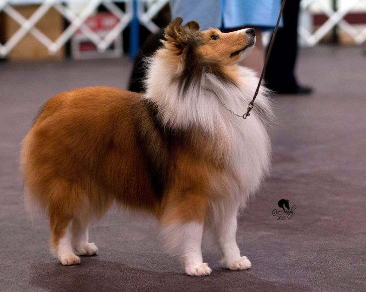 https://flic.kr/p/cXGUWb | Sheltie | Winning show dog - photo by Sandy Revard
