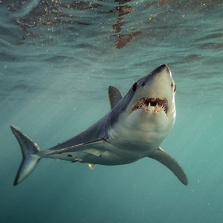 Photo by @BrianSkerry A Shortfin Mako Shark in New Zealand swims through plankton-rich waters in late in afternoon light. Makos are one of the fastest fish in the sea capable of bursts up to 60mph and of all shark species they have one of the largest brains relative to body size. The numbers of makos have declined worldwide due to over fishing and the demand for shark fins. They are currently listed as vulnerable.  Coverage from an upcoming @natgeo story about shortfin mako sharks.  Follow…