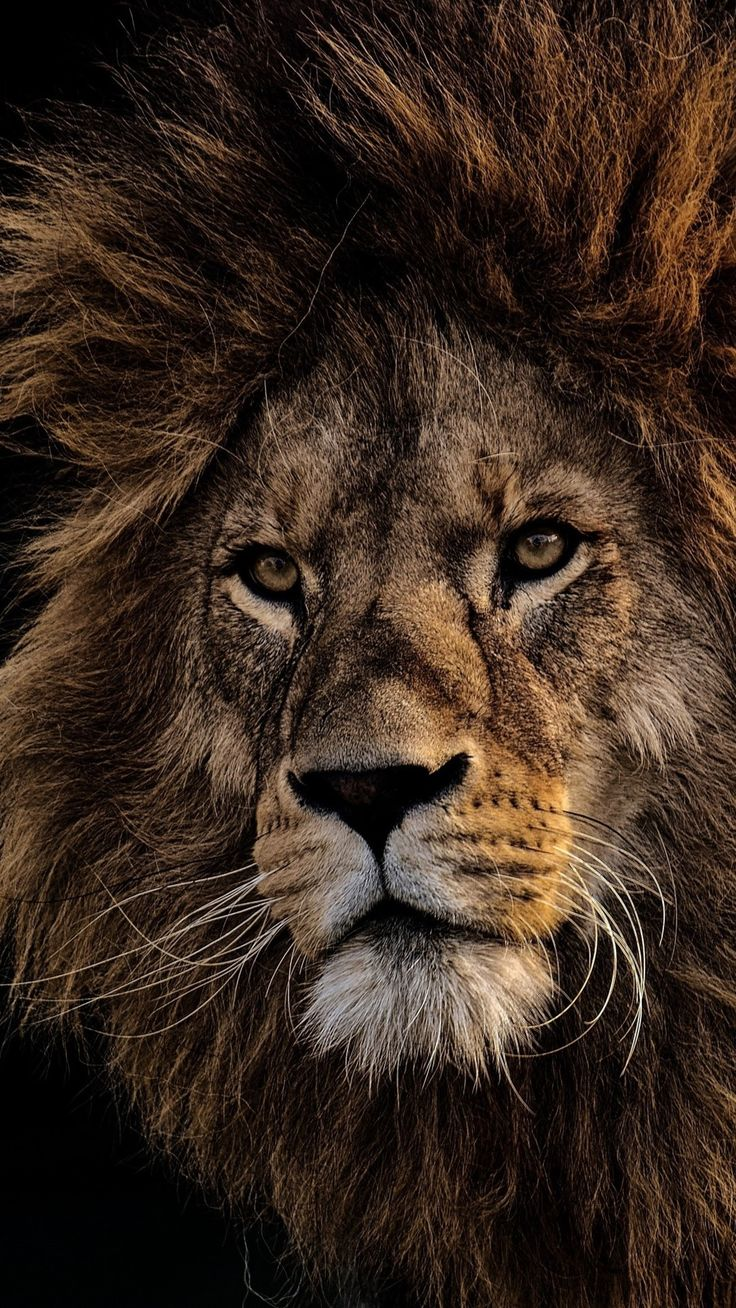 Black Lion Wallpapers Background » Hupages » Download