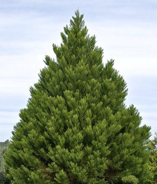 Sequoiadendron giganteum ' Greenpeace ' Giant Redwood
