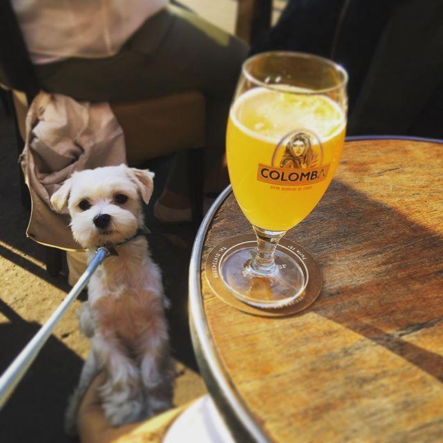 病院の後は太陽の光を浴びにテラスでアペロ🍺 これからソリレスに行くというのに喉乾きすぎてビール1リットル飲んでしまったかーちゃんと、帰りがけに隣の人がゴーカイにこぼしたビールをしっかり浴びてしまった俺😅 🐾 #ビール #アルコール中毒 #alcoolique #apéro #bière #テラス最高 #マルチーズ #マルチーズ部 #犬 #わんこ #白い犬 #ふわもこ部 #愛犬 #犬バカ #俺 #パリ#犬のいる暮らし #maltese #bichon #dog #instadog #dogsofinstagram #doglife #milou #paris #parislife
