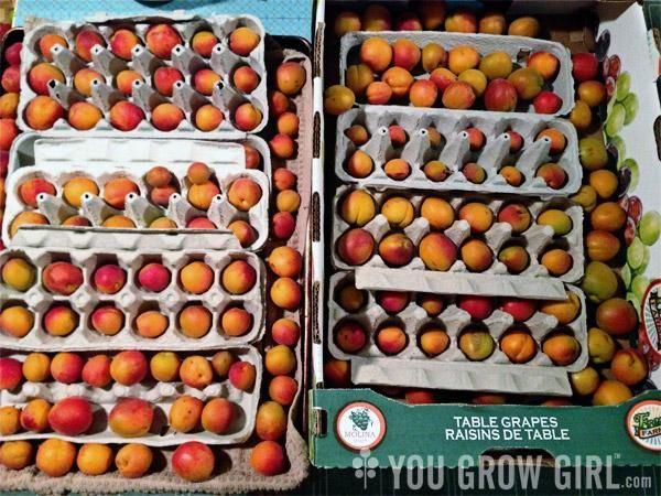 Peut être pour faire rougir les tomates immatures...