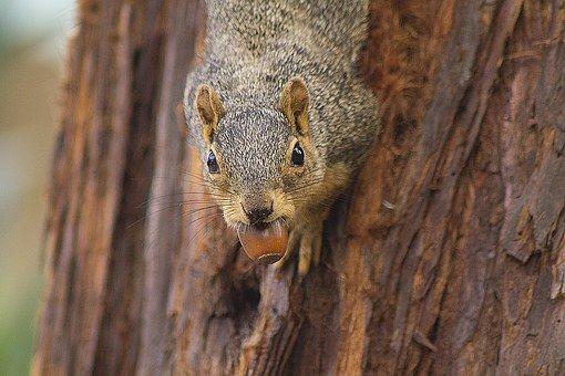 Eichhörnchen, Tier, Eichel, Baum