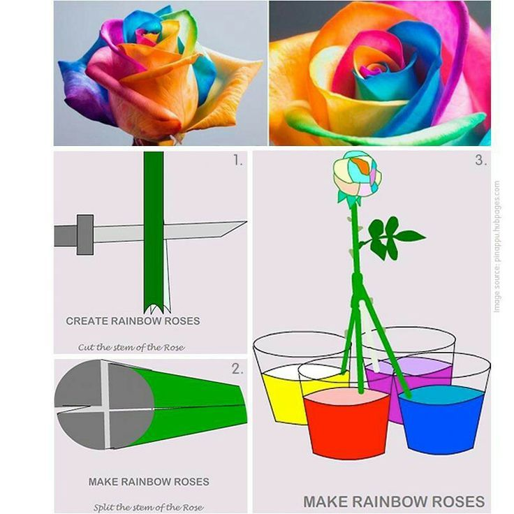 Rainbow Roses are the multi-colored roses. Did you know you can Make you own Rainbow Rose using a white rose and food coloring? Check out this simple illustration to learn how to make it.