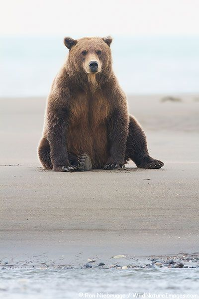 Grizzly Bear, Lake Clark National Park, Alaska