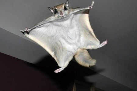 flying squirrels essay We will write a custom essay sample on guns, germs, and steel diseases specifically for you for only $1390/page  americans have deloused themselves, hence, making typhus find a new way to reach humans it started infecting flying squirrels, and flying squirrels transferred it to us.