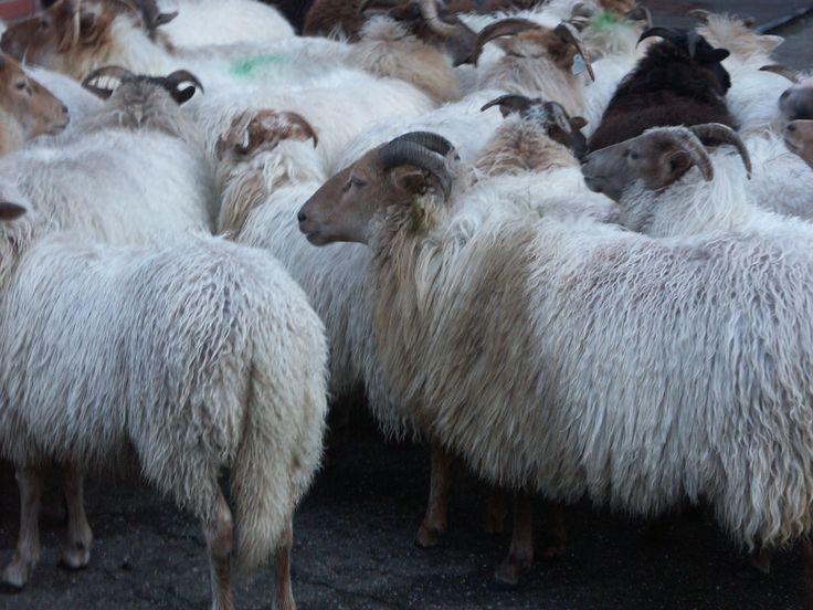 De schapen horen er in de Kersttijd ook bij.