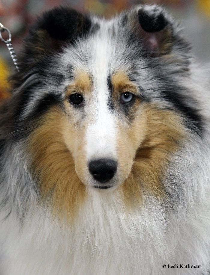 bi eyed sheltie haven 39 t seen one w an eye like this before shelties pinterest shetland. Black Bedroom Furniture Sets. Home Design Ideas