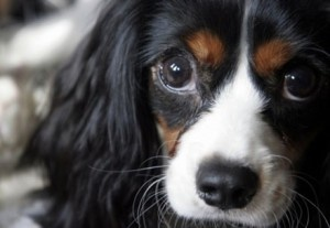 Training Dogs the Lazy WayLittle Puppies, Dog Training, Big Eyes, Training Dogs, Cavalier King Charles, Cute Dogs, Beautiful Dogs, Puppy Eyes, Pretty Eyes