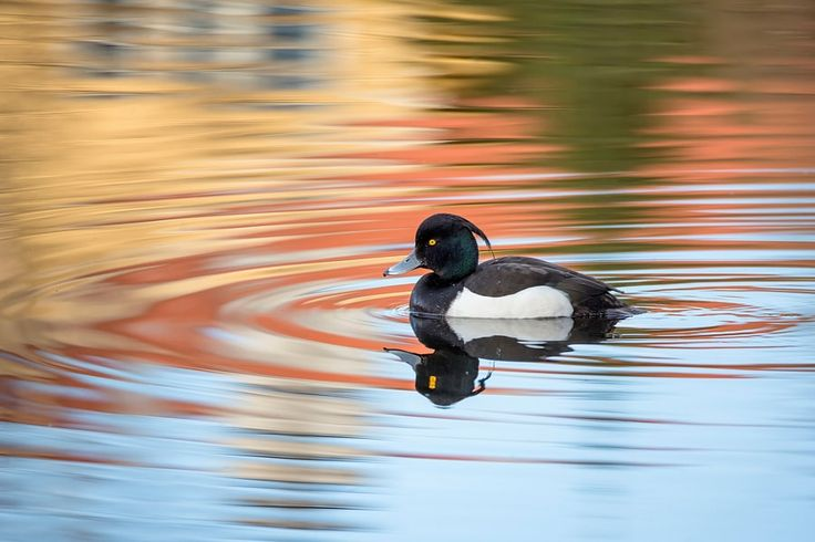 Reflections on a tufted duck