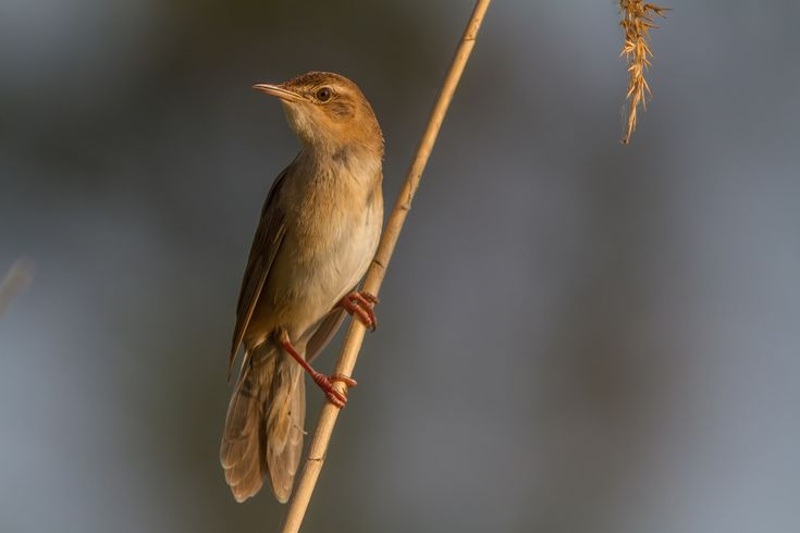 Savi's Warbler - Locustella luscinioides; is a species of Old World warbler. It breeds in southern Europe and temperate western Asia. It is migratory, wintering in northern and sub-Saharan Africa.  Photo Teslenko Igor.