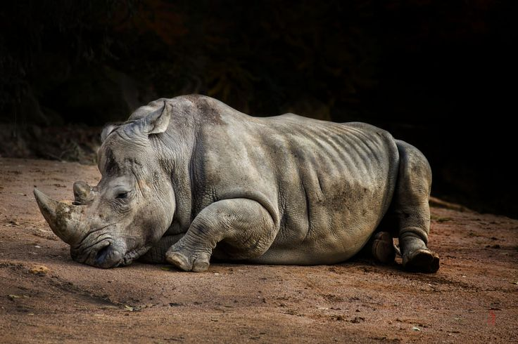 White rhinoceros (Ceratotherium simum) by Jean-Claude Sch. on 500px