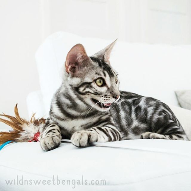 Wild face bengal kitten!! Eldorado is an outstanding silver bengal cat who carries for the charcoal gene coming from the asian leopard cat. He will be mated with some of our girls soon!