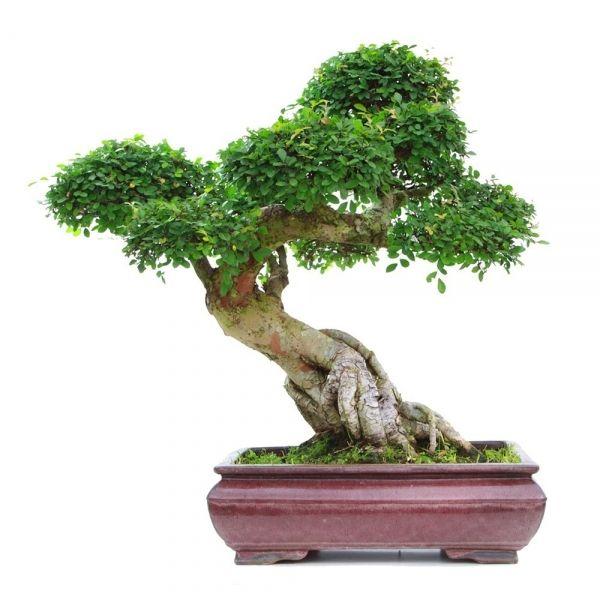 vente de bonsai en ligne orme de chine 30 35 ans 70 cm specimen de collection 130902 sankaly. Black Bedroom Furniture Sets. Home Design Ideas