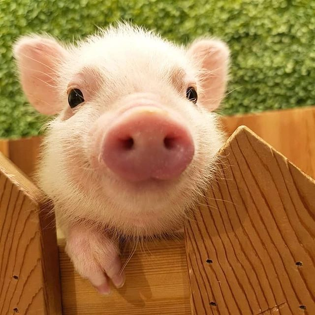 Day 247 Read To My Second Rant Its Funny Well Hello There Little Guy I Would Not Day 247 Read To My Second Rant Baby Farm Animals Cute Animals Pet Pigs