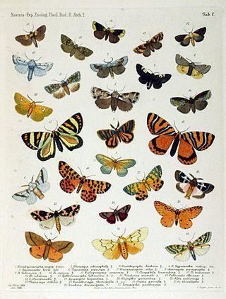 NovaraExpZoologischeTheilLepidopteraAtlasTaf100.jpg