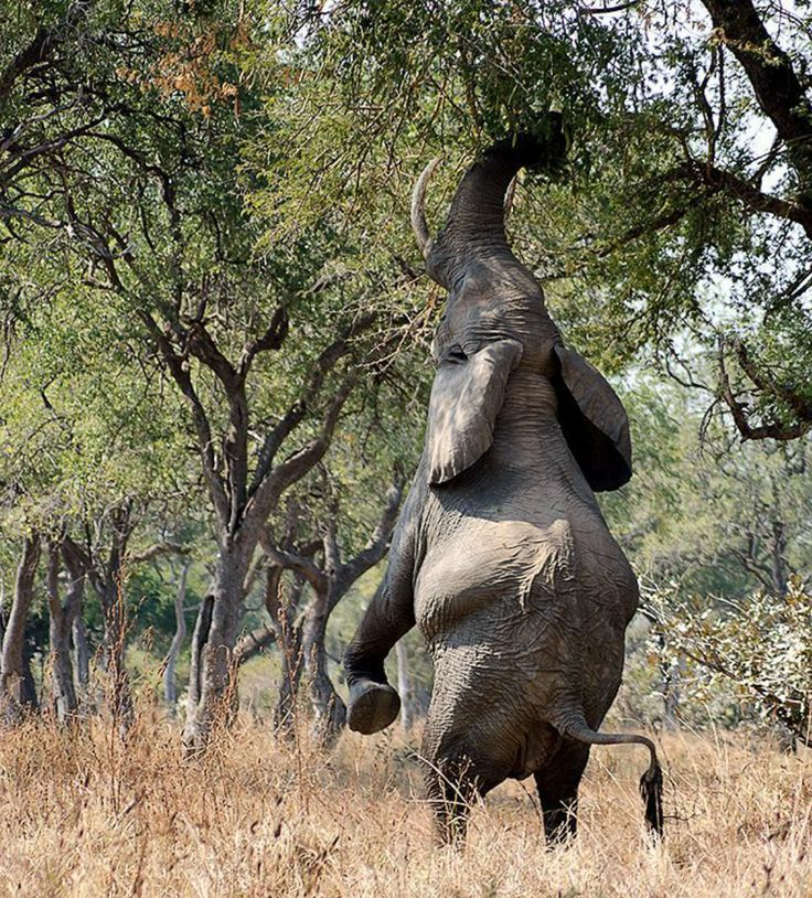 What an elephant does when not reaching the greens, North Luangwa, Zambia. Photo by javiergarribas via Instagram