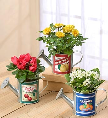 Vintage Watering Cans  Perfectly petite, this trio of mini plants is ready to brighten up a windowsill, desk or tabletop. Three miniature watering can planters with nostalgic designs arrive filled with a fresh, seasonal miniature blooming plants. An irresistible gift that brings showers of smiles to any green thumb or garden lover.