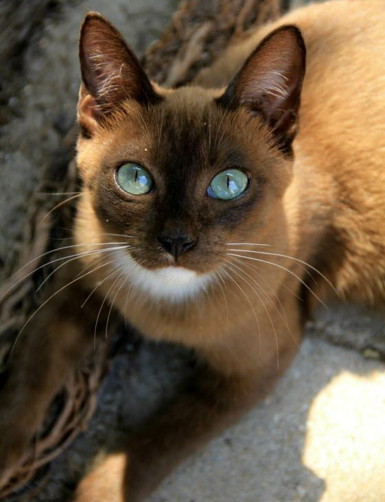 I have no idea what breed this is – maybe a Burmese?? – but it's the most stunning cat I have seen in a long time.
