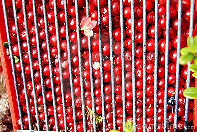 Cowberries in the Scandinavian forest
