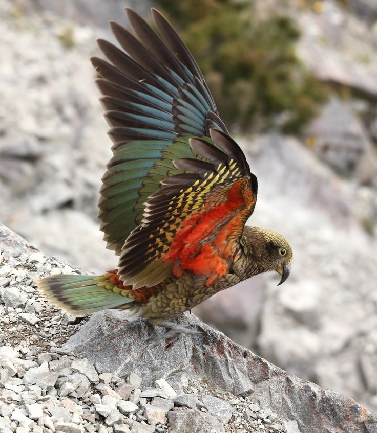 'Kea Taking Wing' Arthurs Pass, South Island, New Zealand