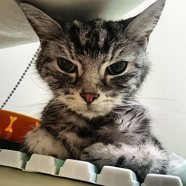 昨日はとっても調子良さそうで 癒やされる寝顔を沢山見せてくれました😌 でも今日は早朝から調子悪そう😯 なのにパトロールはかかさず💦 お風呂のフタの上で休憩中。 だから酸素マスクもお水もパワードリンクもここで💕 ママは寒いけど我慢にゃ(笑) #奇跡起きて#頑張れコナ💕#でも無理しなくていいよ#愛猫#kona#Americanshorthare#cat#アメショ#にゃんことの生活#instagram#catstagram#12歳#猫#まだまだ若い#美魔男#デカ耳隊員#老猫#悪性リンパ腫#腹膜炎#癌?#肺転移?#末期?#闘病中#辛い思いさせて#ごめんね#大丈夫#皆さん祈って下さい#シリカ#低気圧#霊気の力