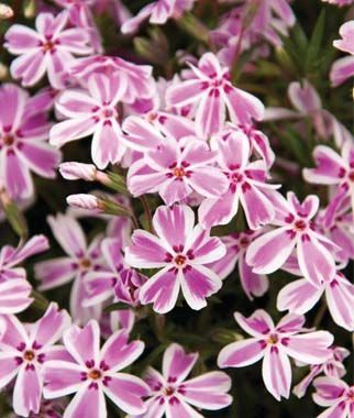 Creeping phlox, Candy Stripe .Vigorous, spreading ground cover for edges and border fronts. Zones 3-9.