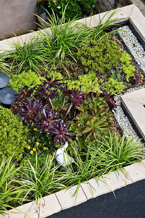 Colourful foliage: Striking foliage plantings keep a garden looking good all year round. Note this combination of liriope with burgundy aeonium and Sedum Gold Mound.