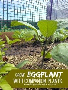 I'm growing eggplant from Mary's Heirloom Seeds  Use the  companion planting method for a great harvest   PreparednessMama