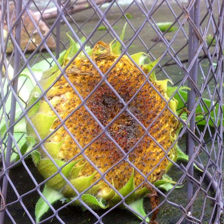 Photoart Sunflower by Holst. Fotokunst Solsikke http://www.facebook.com/HolstKunst
