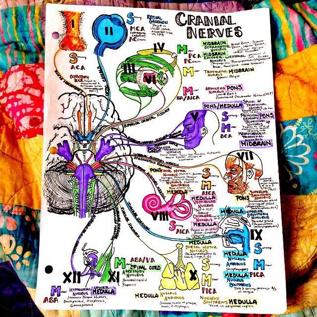 a last look at #cranialnerves and the #brain #neuroscience #neurology #CNS #skull #nerves #neuro #brainstem #anatomy #neuroanatomia #human #biology #science #health #medicine #med #medical #medschool #boardsprep #USMLE #instaanatomy #smartwork #knowledgeispower