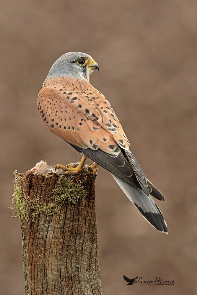 Birds of Prey - Raptor - Wild male Kestrel.
