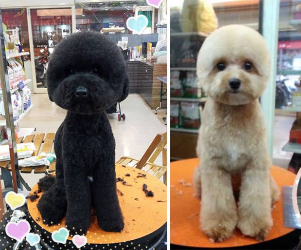 Taiwanese Dogs Are Getting Perfectly Square or Round Haircuts - BlazePress