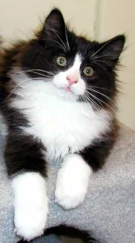 Pretty Tuxedo kitten. Looks very much like my love, Bouffie, short for Bouffant. Love you, love you, sweet Bouffie. If only you were here with me now.
