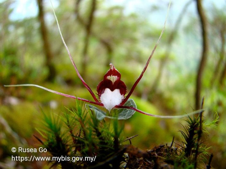 Corybas geminigibbus has been assessed as #CriticallyEndangered in 2013 by Conservation Status of Plants for Peninsular Malaysia. Photo by Rusea Go. #Orchids