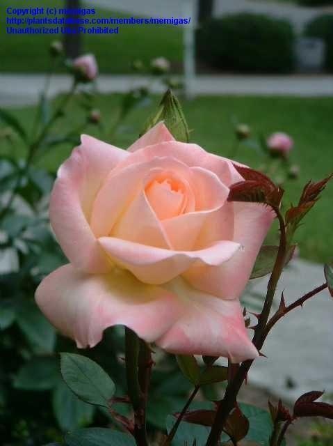 Princess Diana Rose Hybrid | Diana, Princess of Wales Hybrid Tea Rose - Butter cream base of the ...