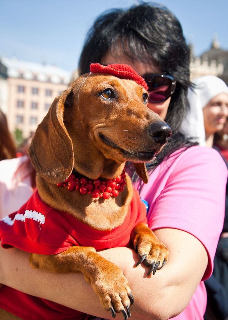 Crazy event in Krakow - Dachshund parade, If you ever visit in September remember to stop by