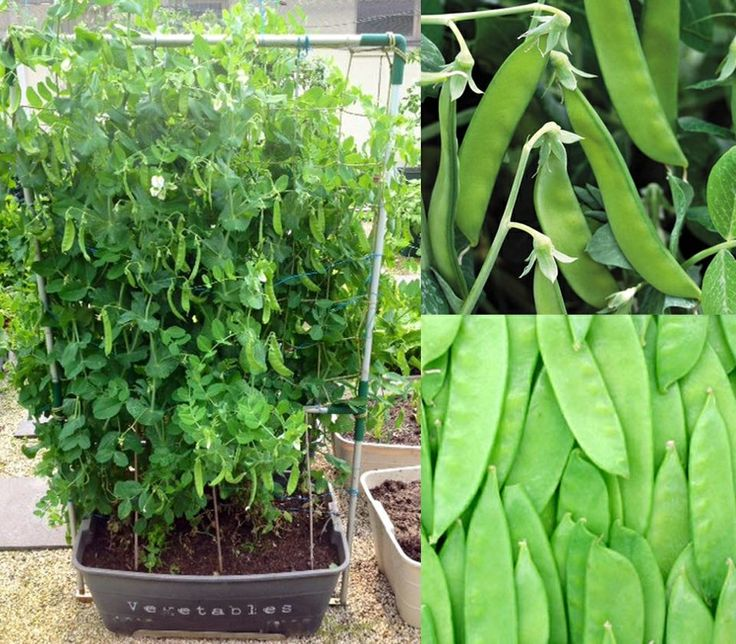 Snow peas are in season now so take this opportunity to start your crop this June in a GreenSmart self watering Pot.  Visit http://www.greensmartpots.com.au to get growing!!