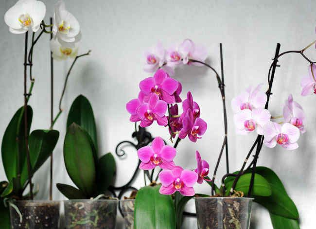 Orchidee Conseils Et Astuces Entretien Et Floraison Culture Des Orchidees Rempoter Orchidee Faire Refleurir Une Orchidee