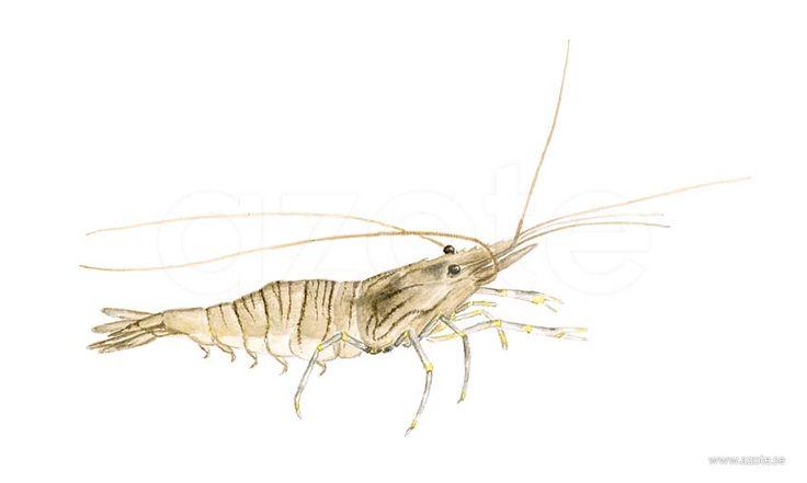 Tångräka (Palaemon adspersus) | Illustratör:  Camilla Bollner/Azote