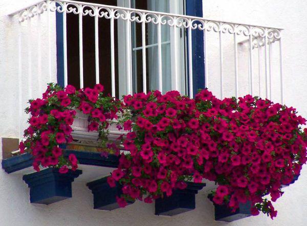 Шапочка из петунии на балконе
