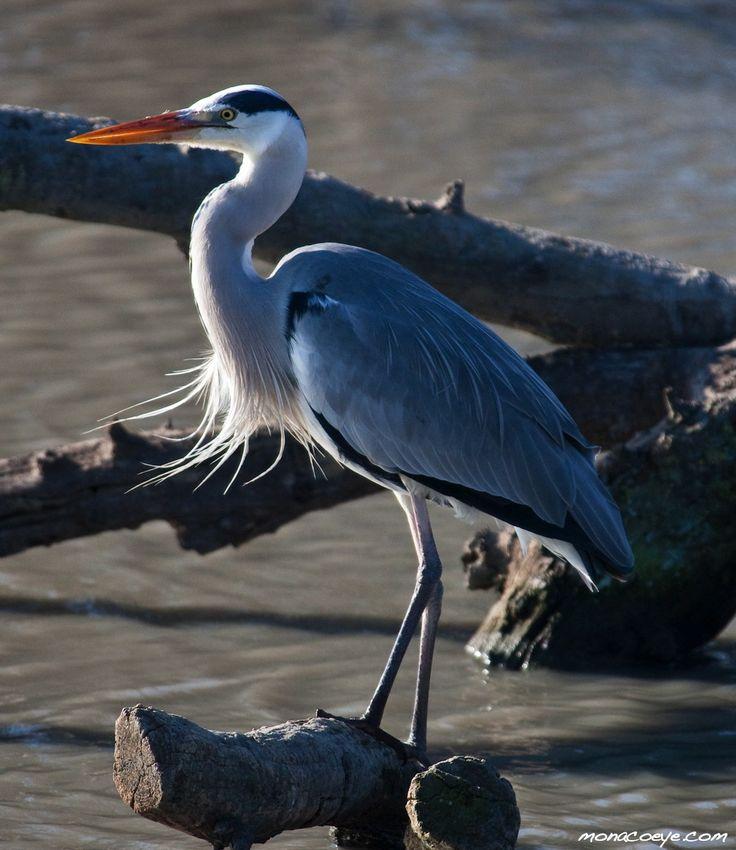 Garça Cinzenta, Grey Heron (Ardea Cinerea)