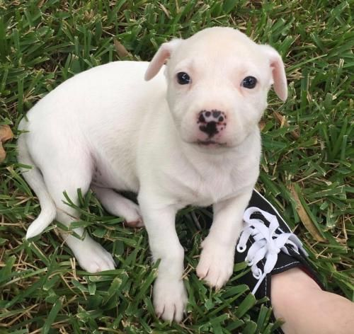 11/17/16-HOUSTON -Spark- I'm a cute, energetic pit bull mix puppy and I love to play. I love trying to play with my three chihuahua sisters; I get along great with other dogs. And my people too, especially kids! Even though I am young I do a pretty good job of using my pee-pads and going out side. I am a very smart girl too and almost always come to my family when they call me, and I am always so excited to see them! I am quiet, and except for the occasional crying, I rarely bark. I am a…