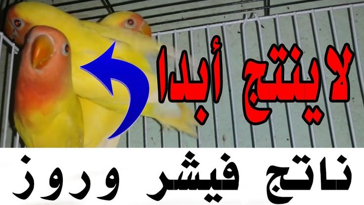 كيف نعرف أن طائر الغندور مريض الفيشر والروز محترف الطيور