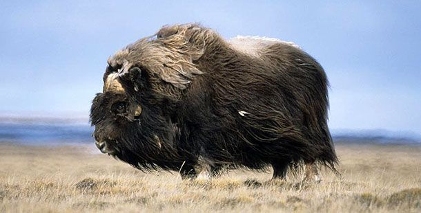 Musk Ox - Contrary to their name and appearance, they have no true musk glands and are not oxen.They are more closely related to sheep and goats than the buffalo they more closely resemble. Perfectly adapted to their Arctic habitat, they have a winter coat that is eight times warmer than sheep's wool.